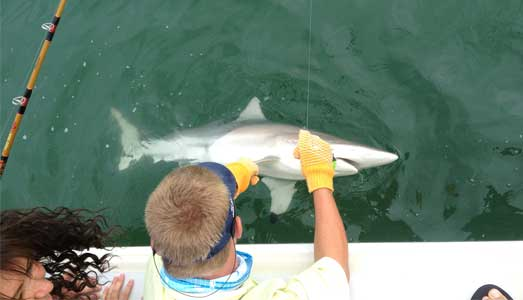Deck hand de-hooks shark caught on a Galveston shark fishing trip
