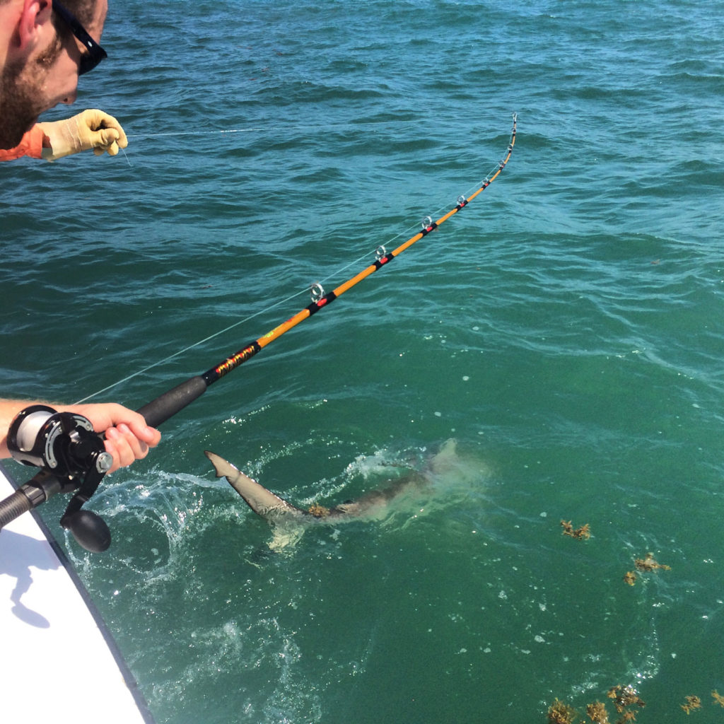Shark fishing guide helping client land shark into boat